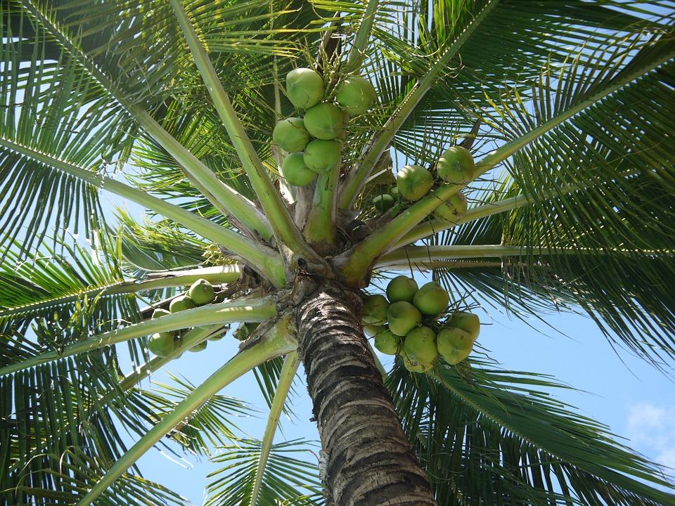 Kokos – samo zdrowie!